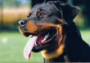blog-68-rottweiler
